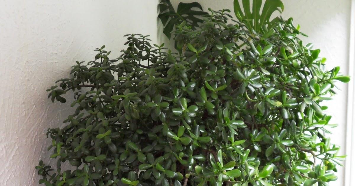 l 39 arbre de jade chinois qui attire l 39 argent. Black Bedroom Furniture Sets. Home Design Ideas