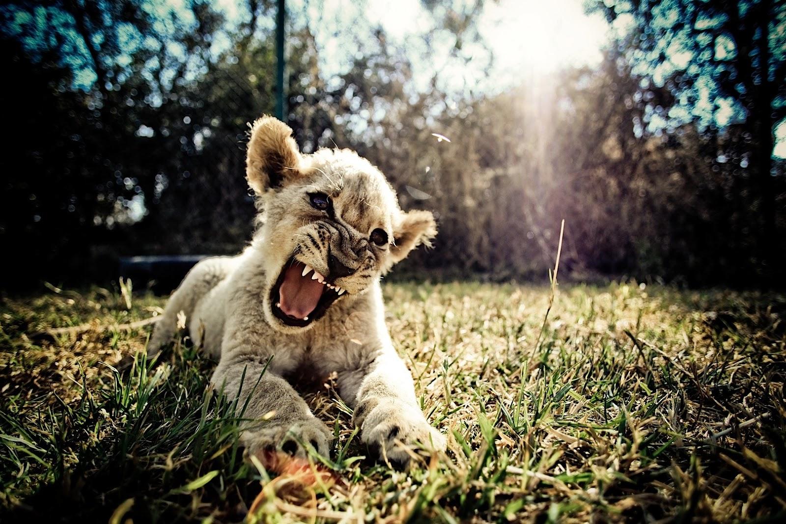lion cub zimbabwe
