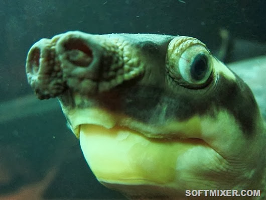 the-long-nose-on-the-pig-nosed-turtle-is-used-as-a-snorkel-so-it-can-hide-under-water-its-actually-the-only-surviving-member-of-an-ancient-family-of-turtles-it-lives-in-australia-and-new-guinea