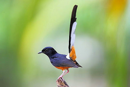 suara burung murai batu