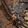 Tanzanian tailless whipscorpion