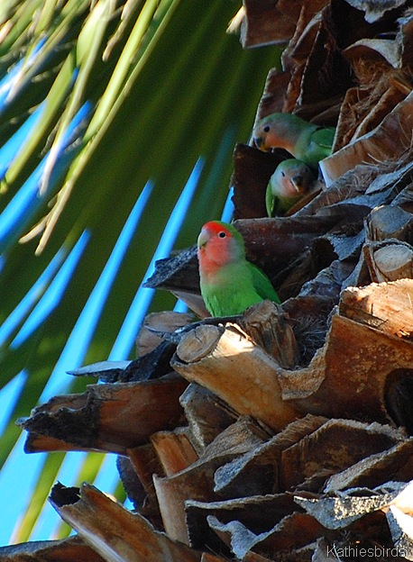 12. Rosy faced Lovebirds-kab