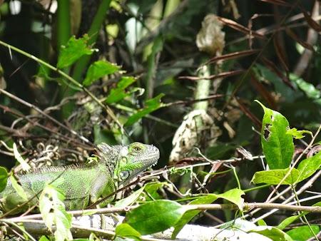 16. Iguana verde.JPG