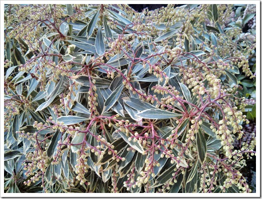 130315_GreenAcresFolsom_Pieris-japonica-Flaming-Silver