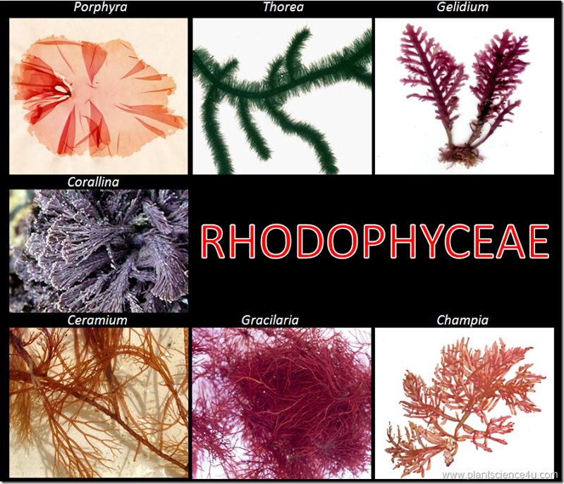 Example of Red algae