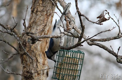 Lure of the suet was to great