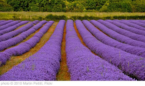 'Norfolk Lavender' photo (c) 2010, Martin Pettitt - license: http://creativecommons.org/licenses/by/2.0/