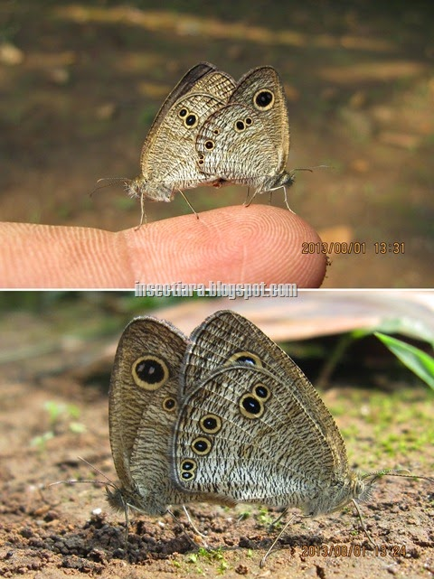 Kupu-kupu Common five ring (Ypthima baldus) kawin