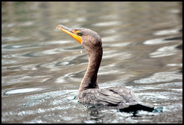 08 - Animals - Cormorant 1