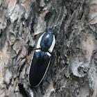 Apache click beetle