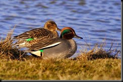 550px-Common_Teal