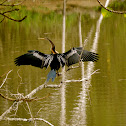 Darter or Snake bird