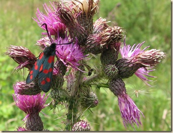 20120712 BHW six-spot burnet