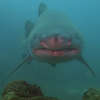 Ragged Tooth Shark/Sand-Tiger Shark/Grey Nurse Shark