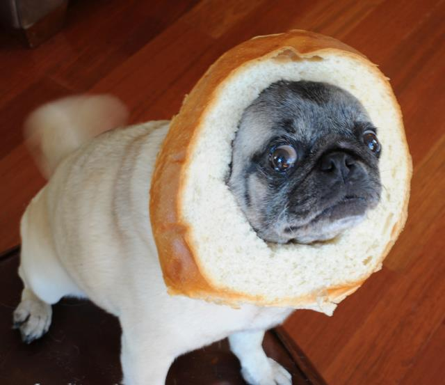 bread_pug