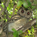 Collared Scops-Owl (Couple)