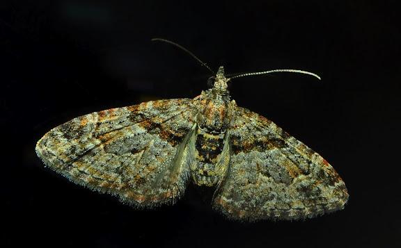 Geometridae : Larentiinae : Xanthorhoini : Epyaxa subidaria GUENÉE, 1857. Umina Beach (NSW, Australie), 13 octobre 2011. Photo : Barbara Kedzierski