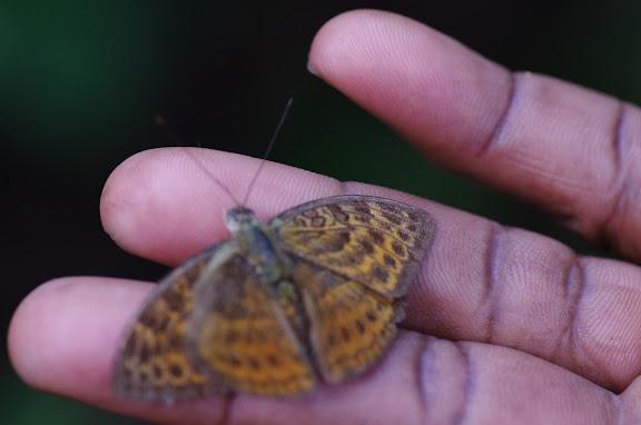Bebearia subtentyris STRAND, 1911. Ebogo (Cameroun), 9 avril 2012. Photo : J.-M. Gayman