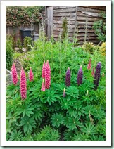 swavesey june lupins