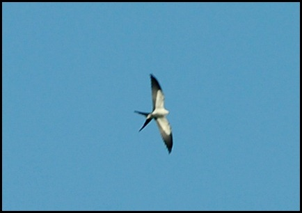 04b - Swallow Tail Kite