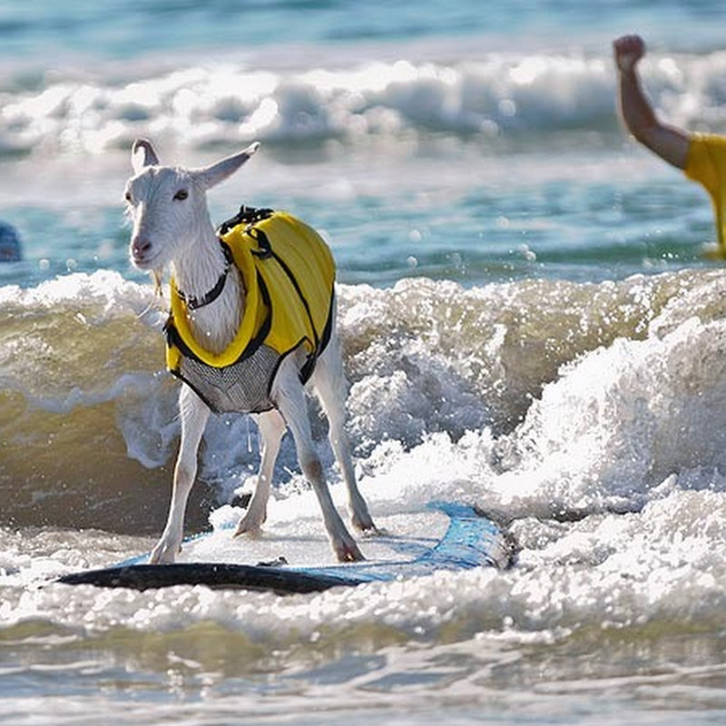 Goatee The Surfing Goat