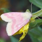 Primrose Moth