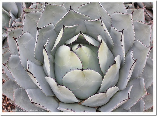 121228_UCBotGarden_Agave-parryi-huachucensis_01