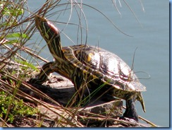 7057 Texas, South Padre Island - Birding and Nature Center - Red-eared Slider