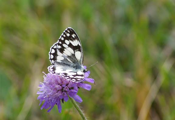 Melanragia galathea L., 1758. Les Hautes-Lisières (Rouvres, 28), 8 juin 2011. Photo : J.-M. Gayman