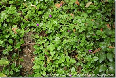 0573 Barranco Azuaje(Aptemia cordifolia-Corazón)