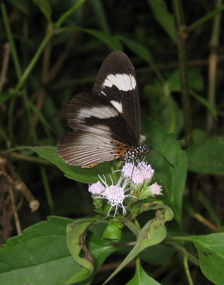 Pseudoacrea eurytus L., 1758. Atewa Hills (Ghana), 13 décembre 2009. Photo : Henrik Bloch