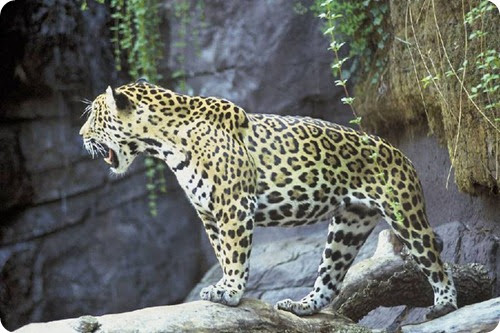 Jaguar_tier