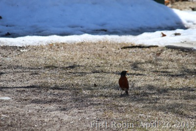Robin April 26