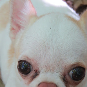 Petal by Shaggy Shack Pack - Animals - Dogs Portraits ( tiny, dogs, white chi, dog, chihuahua )