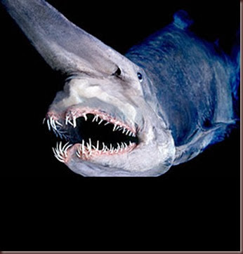 Amazing Animals Pictures Goblin Shark
