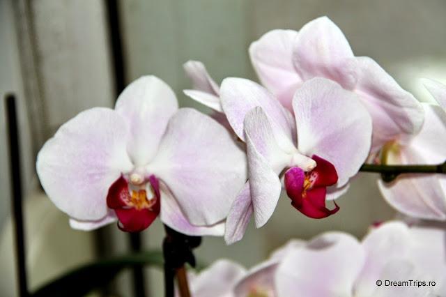 Orhidee 2082.JPG
