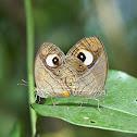 Gladeye Bushbrown Mating
