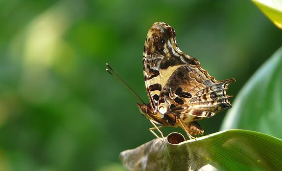 Antanartia delius DRURY, 1782. Bia National Park (Ghana), 20 décembre 2009. Photo : J. F. Christensen