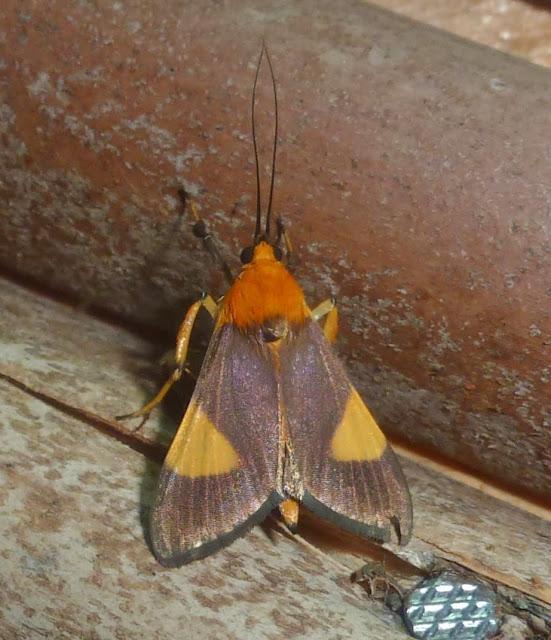 Arctiinae. Parc d'Andasibe-Mantadia (Madagascar), 28 décembre 2013. Photo : T. Laugier