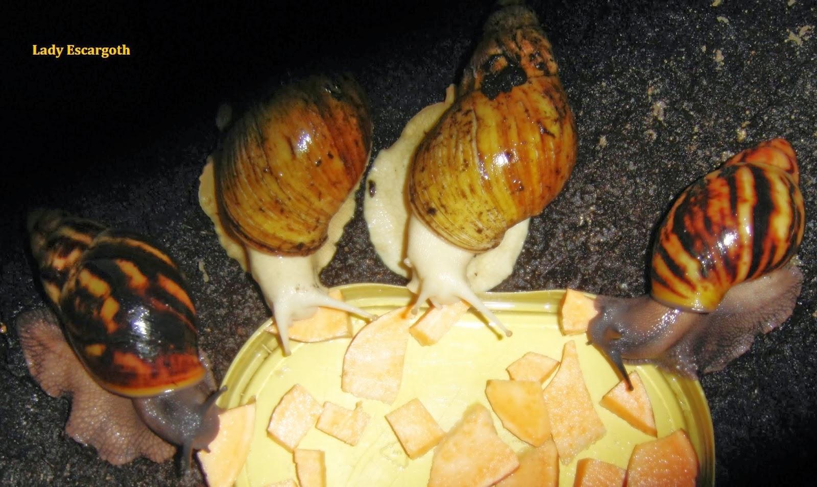 escargots geants qui mangent