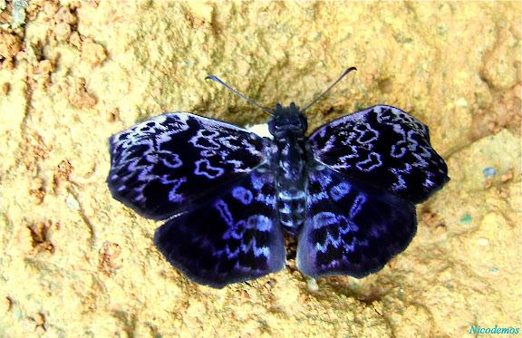 Hesperiidae : Cycloglypha thrasibulus thrasibulus (FABRICIUS, 1793), mâle. Pitangui (MG, Brésil), 29 décembre 2009. Photo : Nicodemos Rosa