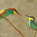 Bee-eater, European Bee-eater