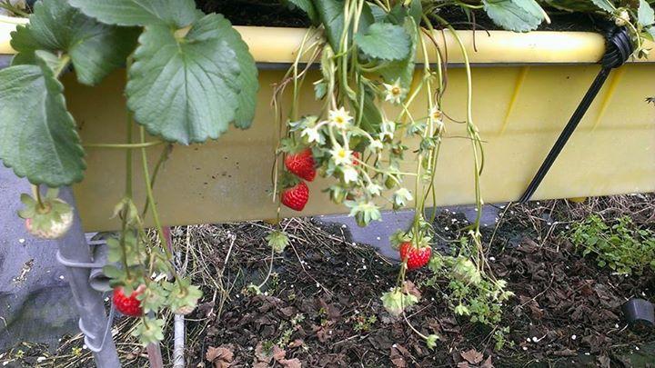 苗栗大湖~六合草莓園~