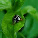 Ash Gray ladybug