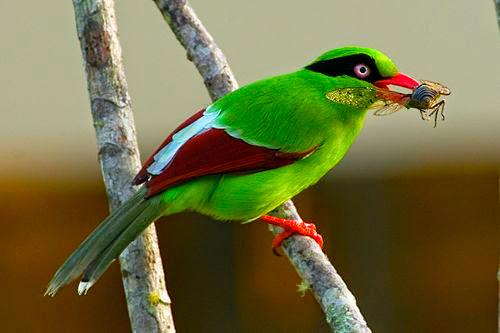 Ekek-Geling Jawa, Burung Endemik Jawa Barat Yang Terancam Punah