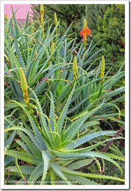 141221_UCD_Aloe-arborescens_001