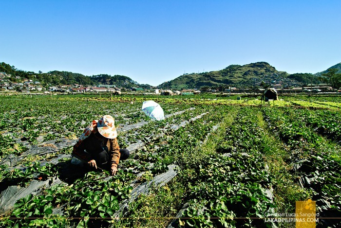 The Fields at La Trinidad's Strawberry Farm