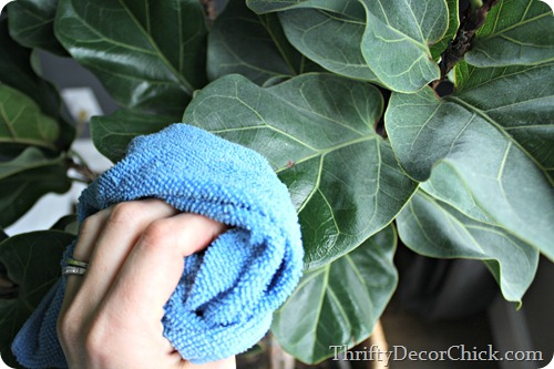cleaning plant leaves