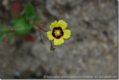 0592 Tamadaba-Berrazales(HierbaTurmera)