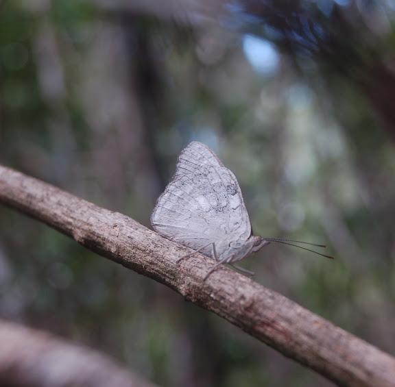 Sallya madagascariensis BOISDUVAL, 1833 (endémique). Réserve d'Ankarafantsika (50 km à l'est de Majunga), 210 m d'altitude, 8 février 2011. Photo : T. Laugier